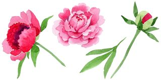 Watercolor pink peony flower. Floral botanical flower. Isolated illustration element. Aquarelle wildflower for background, texture, wrapper pattern, frame or royalty free illustration