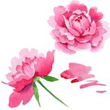 Watercolor pink peony flower. Floral botanical flower. Isolated illustration element. Aquarelle wildflower for background, texture, wrapper pattern, frame or vector illustration