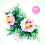 Watercolor pink peony. Stock Photography