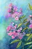 Watercolor pink phlox. Watercolor painting of pink phlox Royalty Free Stock Images