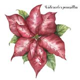 Watercolor pink poinsettia. Hand painted Christmas flower with leaves isolated on white background. Botanical royalty free illustration