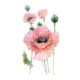 Watercolor Pink poppy flower bouquet. Isolated on white background Stock Photo