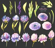 Watercolor pink and purple peonies, roses, asters and greed branches collection, isolated elements set Vector Illustration