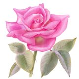 Watercolor of pink rose bud, hand drawn floral illustration.