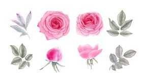 Watercolor pink rose flowers and bud. vector illustration