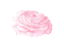 Watercolor pink rose Stock Photos