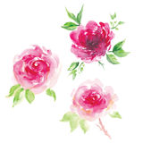 Watercolor pink rose set. Isolated watercolor pink rose set Stock Photos