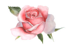 Watercolor pink rose on white handmade drawing. Royalty Free Stock Image