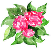 Watercolor pink roses flowers leaves floral composition isolated Stock Images