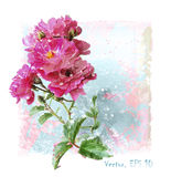 Watercolor pink roses. Hand drawn  watercolor pink roses Stock Images