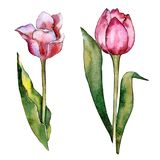 Watercolor pink tulip flower. Floral botanical flower. Isolated illustration element. Aquarelle wildflower for background, texture, wrapper pattern, frame or royalty free illustration