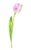 Watercolor pink tulip Royalty Free Stock Photo