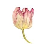 Watercolor pink tulip Royalty Free Stock Image