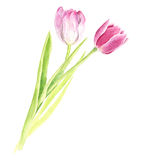 Watercolor pink tulips Stock Images