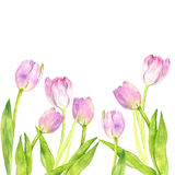 Watercolor pink tulips Stock Photo