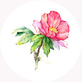 Watercolor pink wild rose. Royalty Free Stock Image