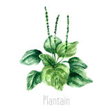 Watercolor plantain herbs. Hand drawn watercolor botanical illustration of the plantain plant. Plantain drawing  on the white background. Medical herbs Stock Photo