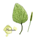 Watercolor plantain. Medicinal herb. Vector illustration. Watercolor illustration with plantain. Vector Royalty Free Stock Image