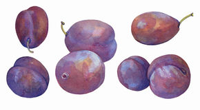 Watercolor plum on white Stock Images
