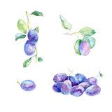 Watercolor plums on branch. Watercolor panting. Set of plums on white background Royalty Free Stock Photography