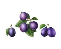 Watercolor plums. Stock Photography