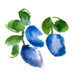 Watercolor plums. Image of plum done in watercolors Royalty Free Stock Photography
