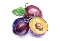 Watercolor plums Stock Photos