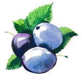 Watercolor plums. Watercolor painting of a three plums Stock Images
