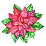 Watercolor poinsettia isolated on white background royalty free illustration