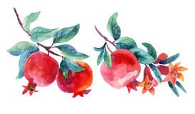 Watercolor pomegranate bloom branches set. Pomegranate fruit and flower isolated on white background. Hand painted illustration vector illustration
