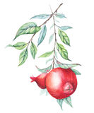 Watercolor pomegranate (garnet) branch Stock Images