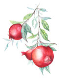 Watercolor pomegranate (garnet) branch. Beautiful and elegant branche isolated on white. Nice background for textile, wallpapers, birthday/wedding cards Stock Images