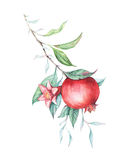 Watercolor pomegranate (garnet) branch. Beautiful and elegant branche isolated on white. Nice background for textile, wallpapers, birthday/wedding cards Royalty Free Stock Photo