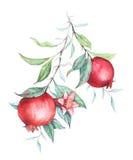 Watercolor pomegranate (garnet) branch Stock Photos