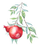 Watercolor pomegranate (garnet) branch Royalty Free Stock Photography