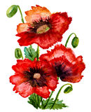 Watercolor poppies composition Stock Images