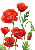 Watercolor poppies field. On white background. Hand painted illustration Stock Photo