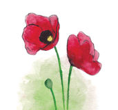 Watercolor poppies Stock Images