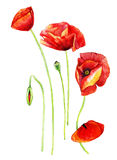 Watercolor poppies stock illustration