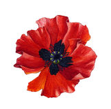 Watercolor poppy Royalty Free Stock Photos