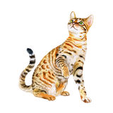 Watercolor portrait of American Savannah cat  on white background. Hand drawn sweet home pet Royalty Free Stock Photography