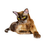 Watercolor portrait of burmese sable american cat  on white background. Hand drawn detailed sweet home pet. Bright colors, realistic look. Greeting card design Royalty Free Stock Photo