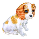 Watercolor portrait of English Blenheim-colored Cavalier King Charles Spaniel breed dog  on pink background Stock Images