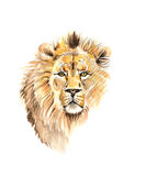 Watercolor portrait of lion Royalty Free Stock Photography