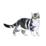Watercolor portrait of rare exotic American wirehair cat  on white background. Hand drawn detailed sweet home pet. Bright colors, realistic look. Greeting card Stock Image