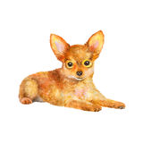 Watercolor portrait of red Russian toy terrier breed dog  on white background. Hand drawn sweet pet Stock Images