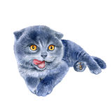 Watercolor portrait of scottish fold cute kitten lick oneself  on white background. Hand drawn pet. Clip art Royalty Free Stock Photo