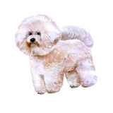 Watercolor portrait of white Canary Islands, Spain, Belgium, France bichon frise dog  on white background. Hand drawn sweet pet. Bright colors. Greeting card Stock Photos