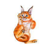 Watercolor portrait of wild caracal kitten with black ears  on white background. Hand drawn sweet home pet Stock Image