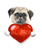 Watercolor pug dog with heart. Pets illustration. Watercolor cute lover valentine havanese puppy dog is holding a red heart, isolated on white background. Happy Stock Images
